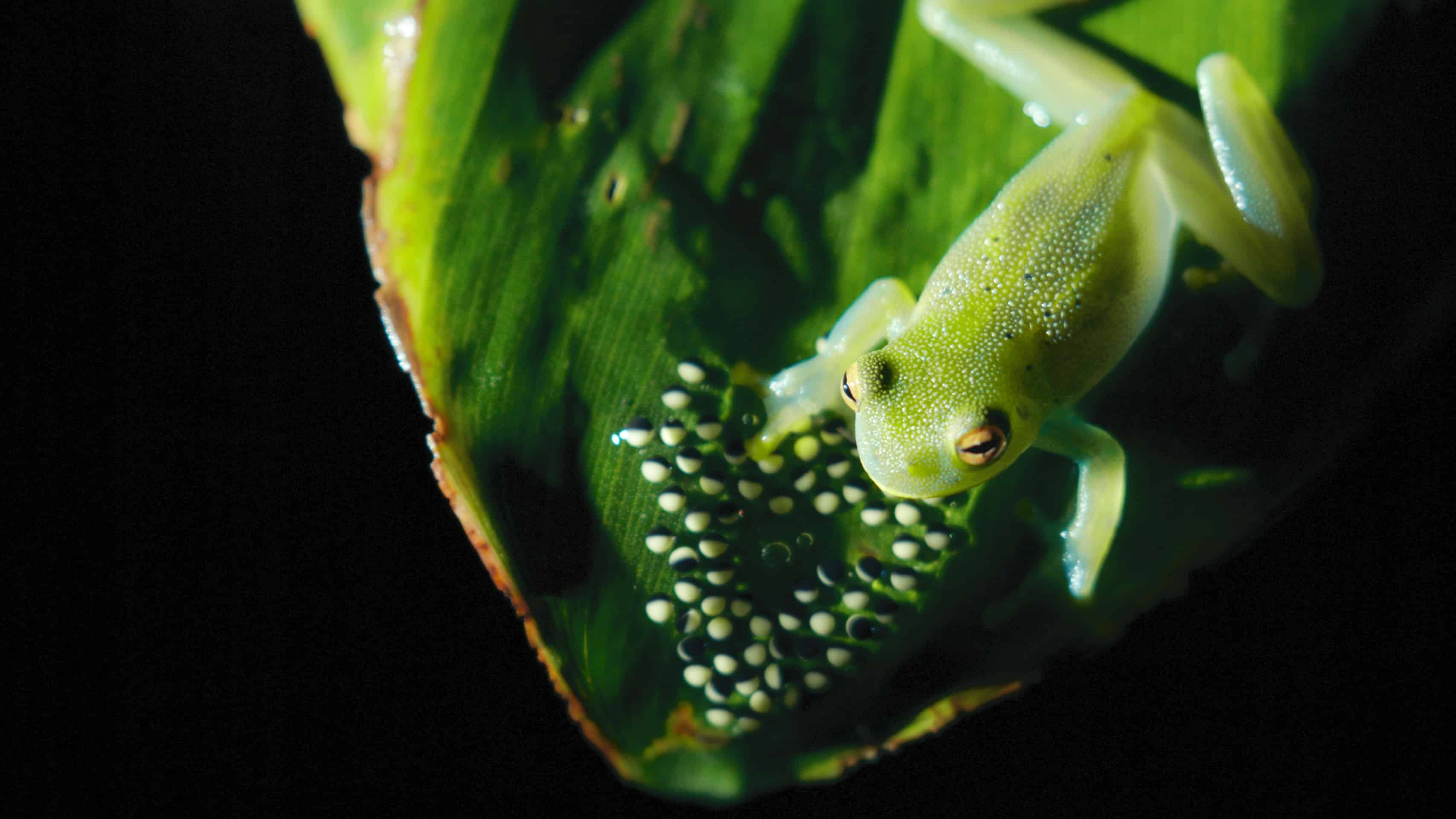 04_SOTR_GLASS_FROGS_12